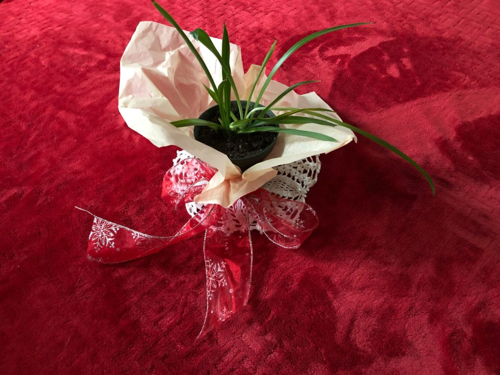 Spider plant with Valentine's Day ribbon and tissue